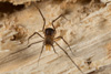 http://mczbase.mcz.harvard.edu/specimen_images/invertebrates/large/144192_Pellobunus_4.jpg