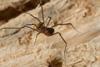 http://mczbase.mcz.harvard.edu/specimen_images/invertebrates/large/144192_Pellobunus_5.jpg