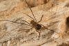 http://mczbase.mcz.harvard.edu/specimen_images/invertebrates/large/144192_Pellobunus_6.jpg
