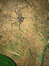 http://mczbase.mcz.harvard.edu/specimen_images/invertebrates/large/144197_Amblypygi_1.jpg
