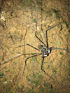 http://mczbase.mcz.harvard.edu/specimen_images/invertebrates/large/144197_Amblypygi_3.jpg