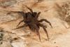 http://mczbase.mcz.harvard.edu/specimen_images/invertebrates/large/144201_Mygalomorphae_11.jpg
