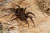 http://mczbase.mcz.harvard.edu/specimen_images/invertebrates/large/144201_Mygalomorphae_12.jpg