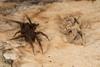 http://mczbase.mcz.harvard.edu/specimen_images/invertebrates/large/144201_Mygalomorphae_13.jpg