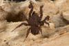 http://mczbase.mcz.harvard.edu/specimen_images/invertebrates/large/144201_Mygalomorphae_14.jpg