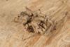 http://mczbase.mcz.harvard.edu/specimen_images/invertebrates/large/144201_Mygalomorphae_6.jpg