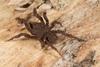 http://mczbase.mcz.harvard.edu/specimen_images/invertebrates/large/144201_Mygalomorphae_8.jpg