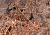 http://mczbase.mcz.harvard.edu/specimen_images/invertebrates/large/144211_Stygnomma_2.jpg