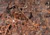 http://mczbase.mcz.harvard.edu/specimen_images/invertebrates/large/144211_Stygnomma_3.jpg