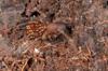 http://mczbase.mcz.harvard.edu/specimen_images/invertebrates/large/144211_Stygnomma_5.jpg