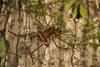 http://mczbase.mcz.harvard.edu/specimen_images/invertebrates/large/144221_Santinezia_1.jpg
