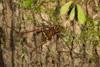 http://mczbase.mcz.harvard.edu/specimen_images/invertebrates/large/144221_Santinezia_5.jpg