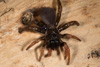 http://mczbase.mcz.harvard.edu/specimen_images/invertebrates/large/144233_Actinopus_3.jpg