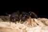 http://mczbase.mcz.harvard.edu/specimen_images/invertebrates/large/144233_Actinopus_5.jpg