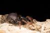 http://mczbase.mcz.harvard.edu/specimen_images/invertebrates/large/144233_Actinopus_6.jpg
