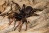 http://mczbase.mcz.harvard.edu/specimen_images/invertebrates/large/144233_Actinopus_7.jpg