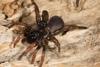 http://mczbase.mcz.harvard.edu/specimen_images/invertebrates/large/144233_Actinopus_8.jpg