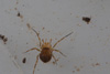 http://mczbase.mcz.harvard.edu/specimen_images/invertebrates/large/144239_Samoidae_5.jpg