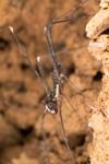 http://mczbase.mcz.harvard.edu/specimen_images/invertebrates/large/144245_Amblypygi_6.jpg
