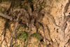 http://mczbase.mcz.harvard.edu/specimen_images/invertebrates/large/144270_Phoneutria_fera_1.jpg