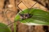 http://mczbase.mcz.harvard.edu/specimen_images/invertebrates/large/144271_Paecilaema_inglei_1.jpg