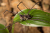 http://mczbase.mcz.harvard.edu/specimen_images/invertebrates/large/144271_Paecilaema_inglei_2.jpg