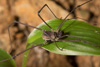 http://mczbase.mcz.harvard.edu/specimen_images/invertebrates/large/144271_Paecilaema_inglei_3.jpg