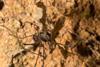 http://mczbase.mcz.harvard.edu/specimen_images/invertebrates/large/144271_Paecilaema_inglei_6.jpg