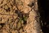 http://mczbase.mcz.harvard.edu/specimen_images/invertebrates/large/144271_Paecilaema_inglei_8.jpg