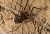 http://mczbase.mcz.harvard.edu/specimen_images/invertebrates/large/144273_Phareicranaus_calcariferus_1.jpg