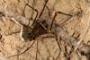 http://mczbase.mcz.harvard.edu/specimen_images/invertebrates/large/144273_Phareicranaus_calcariferus_2.jpg