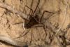 http://mczbase.mcz.harvard.edu/specimen_images/invertebrates/large/144273_Phareicranaus_calcariferus_4.jpg