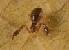 http://mczbase.mcz.harvard.edu/specimen_images/invertebrates/large/144284_Pachyolpium_3.jpg