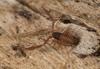 http://mczbase.mcz.harvard.edu/specimen_images/invertebrates/large/144308_Cacodemonius_segmentidentatus_1.jpg