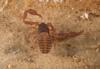 http://mczbase.mcz.harvard.edu/specimen_images/invertebrates/large/144308_Cacodemonius_segmentidentatus_6.jpg