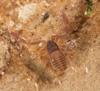 http://mczbase.mcz.harvard.edu/specimen_images/invertebrates/large/144308_Cacodemonius_segmentidentatus_8.jpg