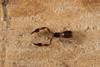 http://mczbase.mcz.harvard.edu/specimen_images/invertebrates/large/144325_Pachyolpium_1.jpg