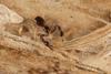 http://mczbase.mcz.harvard.edu/specimen_images/invertebrates/large/144325_Pachyolpium_5.jpg