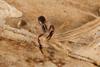 http://mczbase.mcz.harvard.edu/specimen_images/invertebrates/large/144325_Pachyolpium_6.jpg