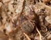http://mczbase.mcz.harvard.edu/specimen_images/invertebrates/large/144335_Geoparypus_1.jpg