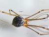 http://mczbase.mcz.harvard.edu/specimen_images/invertebrates/large/144445_Mesabolivar_sp_1.jpg