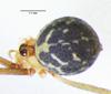 http://mczbase.mcz.harvard.edu/specimen_images/invertebrates/large/144445_Mesabolivar_sp_2.jpg