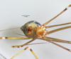 http://mczbase.mcz.harvard.edu/specimen_images/invertebrates/large/144445_Mesabolivar_sp_3.jpg