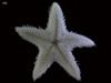http://mczbase.mcz.harvard.edu/specimen_images/invertebrates/large/144530_Asteroidea_2.jpg