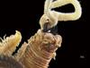 http://mczbase.mcz.harvard.edu/specimen_images/invertebrates/large/144546_Polychaeta_1.jpg