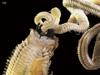 http://mczbase.mcz.harvard.edu/specimen_images/invertebrates/large/144546_Polychaeta_2.jpg