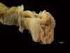 http://mczbase.mcz.harvard.edu/specimen_images/invertebrates/large/144549_Phoronida_1.jpg