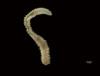 http://mczbase.mcz.harvard.edu/specimen_images/invertebrates/large/144553_Polychaeta_1.jpg