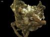 http://mczbase.mcz.harvard.edu/specimen_images/invertebrates/large/145096_Majidae_1.jpg