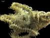 http://mczbase.mcz.harvard.edu/specimen_images/invertebrates/large/145160_Ophiuroidea_2.jpg